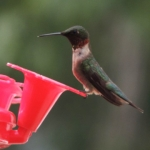 Big Whiteshell Lodge Hummingbird