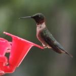 Big Whiteshell Lodge Hummingbird
