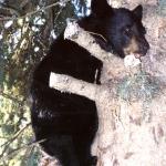 Cute Baby Bear at Big Whiteshell Lodge