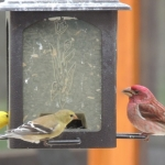Feeding Finches at Big Whiteshell Lodge