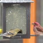 Feeding Finches at Big Whiteshell Lodge