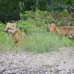 Fox Pups at Big Whiteshell Lodge