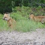 Fox Pups at Big Whiteshell Lodge