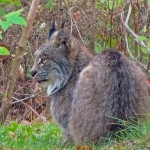 Lynx at Big Whiteshell Lodge