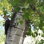 Woodpecker at Big Whiteshell Lodge